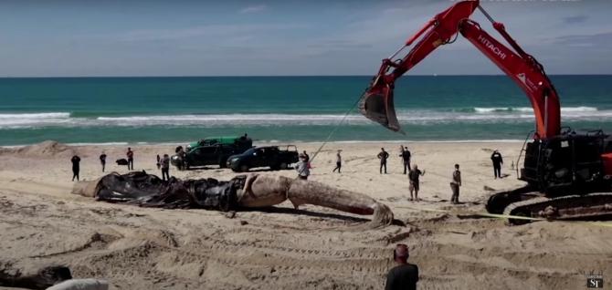 Imagini de la ridicarea unei balene eșuate după dezastrul ecologic din Israel, sursă: Captură YouTube The Straits Times
